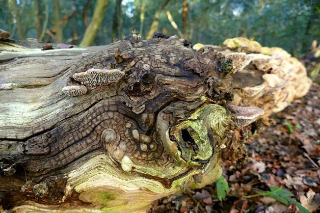 Weer en wind 'boetseren' dood eikenhout na jaren tot boeiende structuren. De houtzwammen geven er een leuk accent aan.